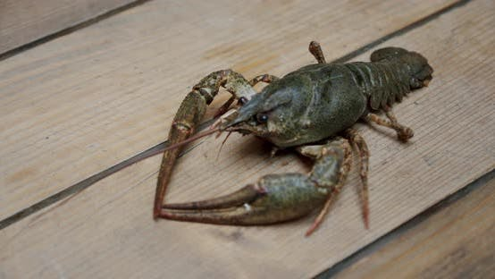 Thumbnail for Healthy and Active Fresh River Lobster or Crayfish Walking in a Tabel. V4