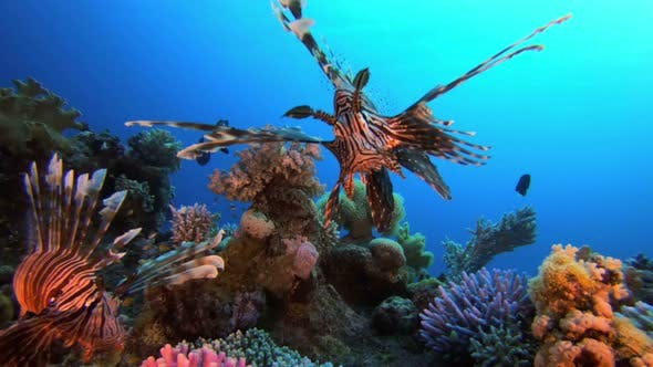 Thumbnail for Tropical Colorful Lion Fish