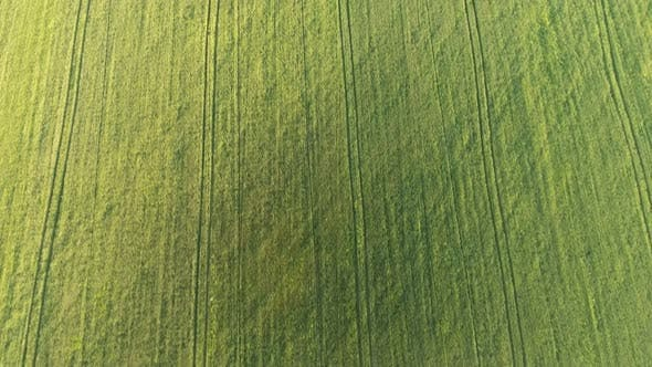 Thumbnail for Aerial of the Cheerful Green Wheat Agro Area From a High Flying Drone in Summer