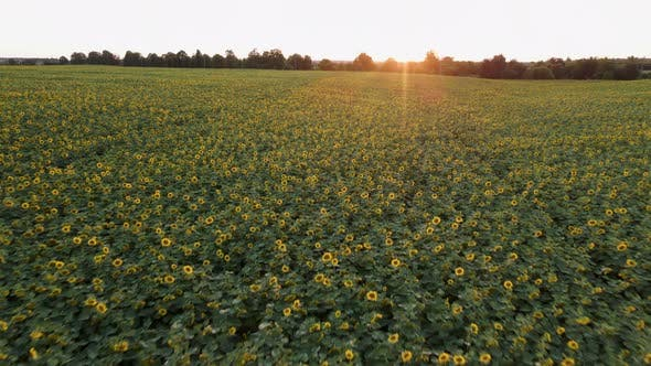 Thumbnail for Aerial View of Sunflowers Field. Drone Moving Across Yellow Field of Sunflowers. Rows of Sunflowers