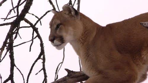 Mountain Lion Adult Lone in Winter Face in South Dakota