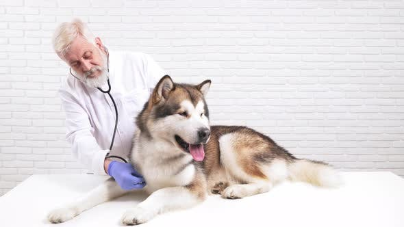 Thumbnail for Professional Doctor Using Stethoscope To Check Up Dog Health
