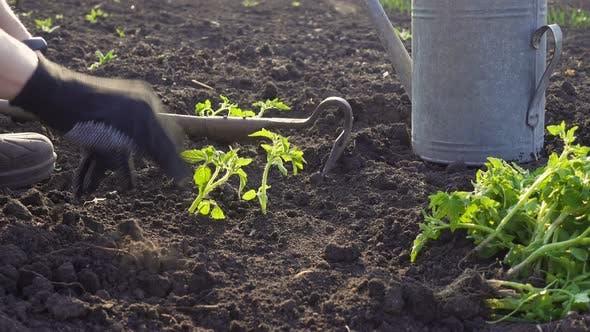 Thumbnail for Planting Vegetable Seedlings In The Garden 7