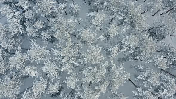 Thumbnail for Flying Over Winter Pine Forest