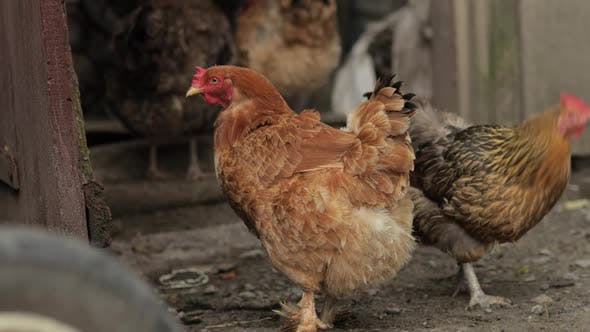 Thumbnail for Domestic Chickens Walk on the Ground. Background of Old Farm. Search of Food