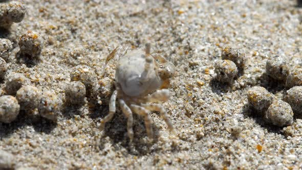Cover Image for Sand Bubbler Crab