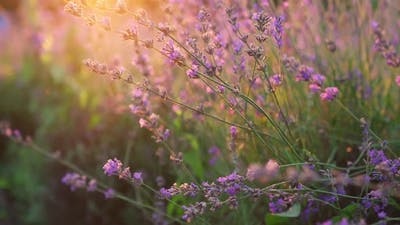 Lavender Flowers Sunset on Background