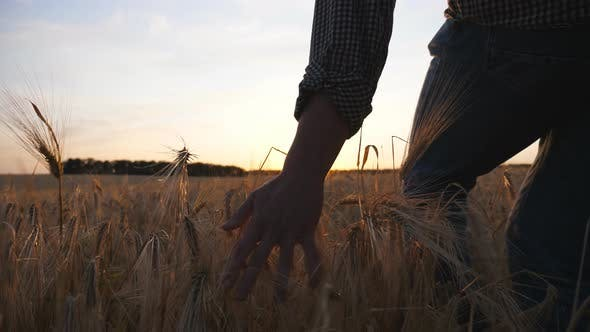 Thumbnail for Young Farmer Walks Through the Barley Field and Strokes with Arm Golden Ears of Crop. Male Hand