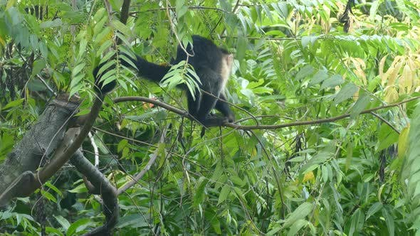 Thumbnail for Young Capuchin monkey eating small leaves
