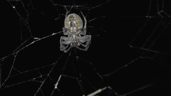 Spider Hunt on Web at Night