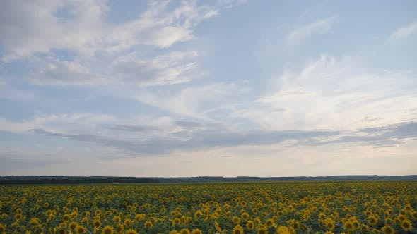 Thumbnail for Yellow sunflower flowers. Agricultural land.