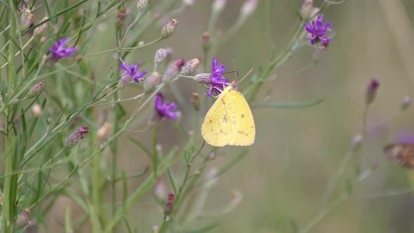 Papillon migrant dans la réserve de gibier de Pilanesberg