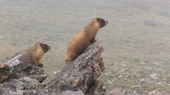 Thumbnail for Yellow-bellied Marmot Pair or Marmots on Rocks in Alpine Mountains in Fog Mist