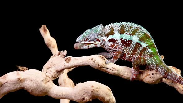 Thumbnail for Panther Chameleon Shoots It's Tongue Out To Catch A Cricket