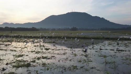 Egret and Asian openbill stork stay together