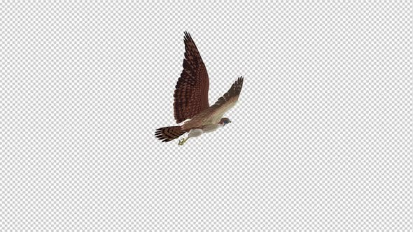 American Kestrel - Flying Loop - Back Angle