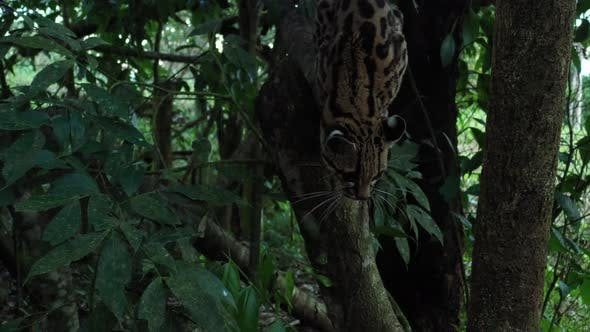 Margay Leopardus wiedii sitting on a branch in the late afternoon and slowly waking up to go hunting