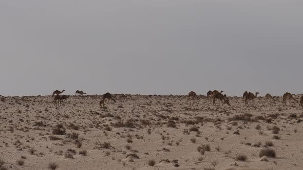 Thumbnail for Herd of dromedary camels