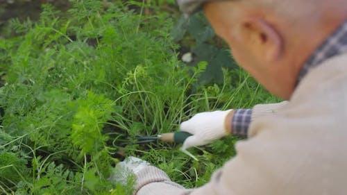 Senior Man Working at Vegetable Garden