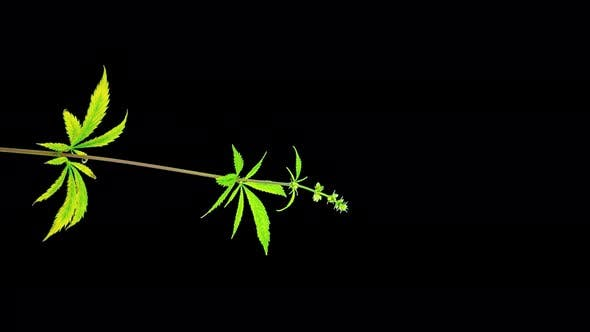Hemp grows and flourishes, time-lapse with alpha channel
