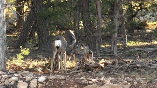 Two mule deer sparing during the rut