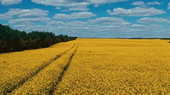 Beautiful yellow field under blue sky