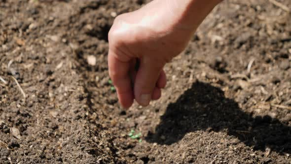 Closeup Video of Old Female Hand Seeding Organic Vegetable Seeds in Fertilized Soil at Garden Bed