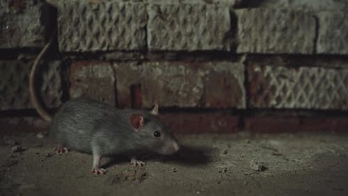 Gray Rat Is In An Old Dirty Basement