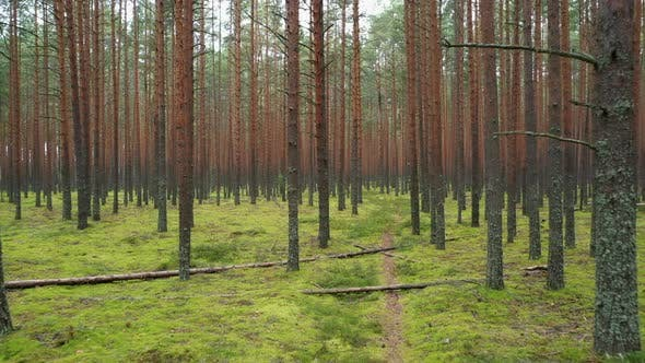 Thumbnail for Flying in the Summer Pine Forest Between Trees Growing in a Row.