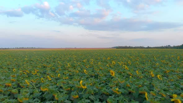Thumbnail for Drone Moving Across a Sunflowers Field at Summer Sunset
