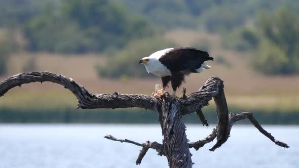 African fish eagle eats a fish
