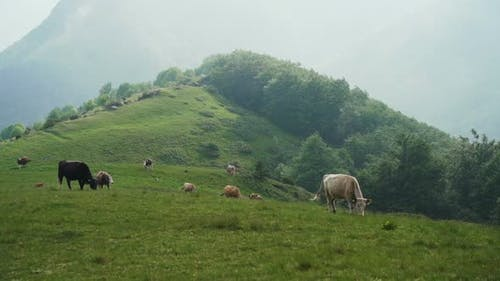 Free Range Cows Grazing on A Green Mountain Slope in Bulgaria