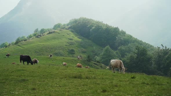 Thumbnail for Free Range Cows Grazing on A Green Mountain Slope in Bulgaria
