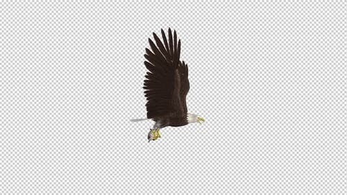 Bald Eagle with Salmon Fish - 4K Flying Loop - Side View