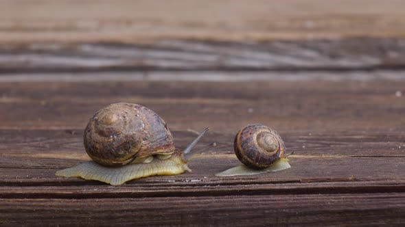 Thumbnail for Big and Small Snail Crawling on a Wooden Board
