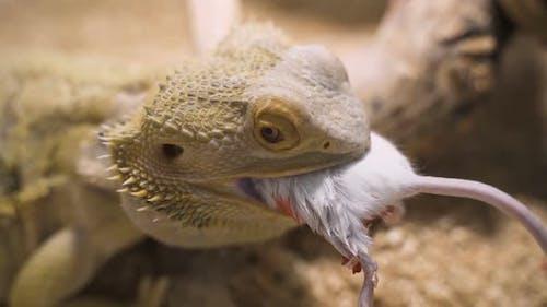 Bearded Agama Male Eats Mouse in Terrarium