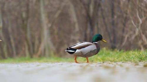 Male duck with green head walking in summer park