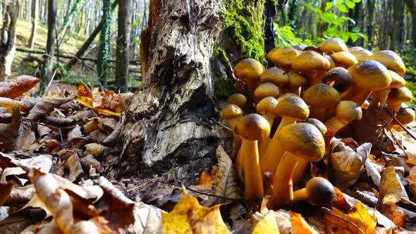 Honey Fungus Mushrooms 30
