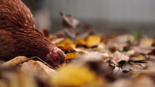 Chicken on Fallen Leaves in the Aviary. Brown Chicken Walking on a Pile of Dry Leaves in an Aviary