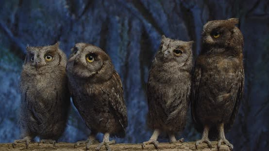 Four Cute Baby Owls Are Moving Their Heads, Curious Birds, Wildlife,