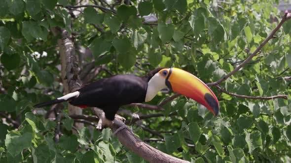 Toucan sur la branche en attente de nourriture