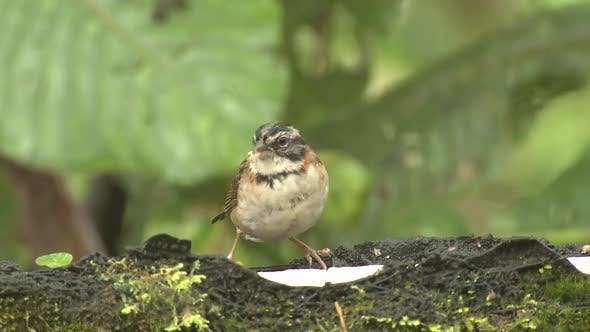 Thumbnail for Rufous-collared Sparrow Bird Eating in Cloudforest or Rainforest Jungle
