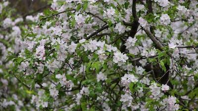 Apple tree blossom in garden