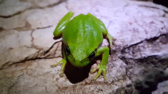 Thumbnail for The green tree frog on a rock at night