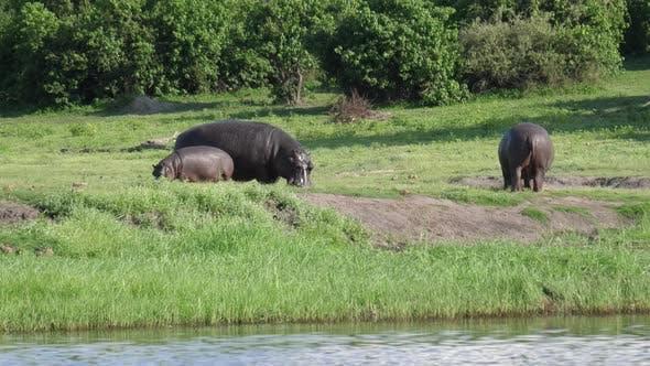 Thumbnail for Two Hippos with a baby grazing