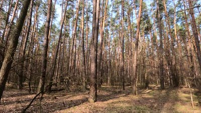 Forest with Pines with High Trunks During the Day