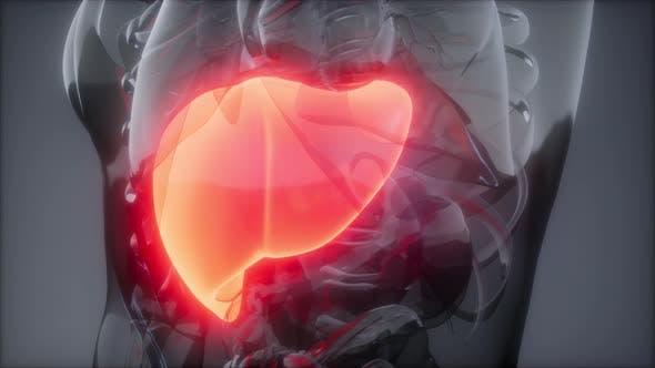 Thumbnail for Human Liver Radiology Exam