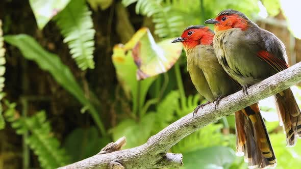 Thumbnail for Scarlet-faced liocichla couple sitting in tree grooming and preening