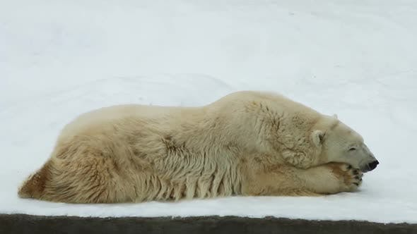 Thumbnail for Polar Bear Lying in the Snow