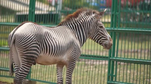 Zebra Horse Stands in the Aviary